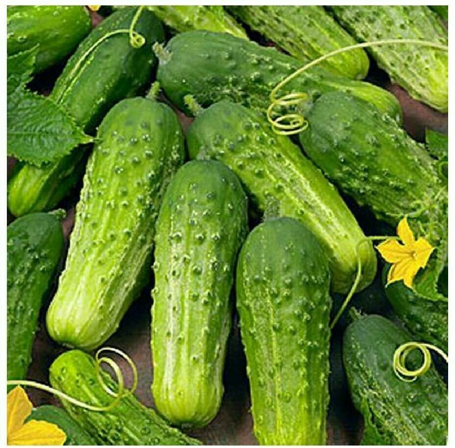 Pickling Cucumber Plant 4