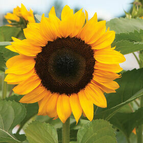 Sunflowers 4-pk plant