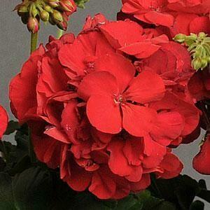 Red Zonal Geranium-gallon size