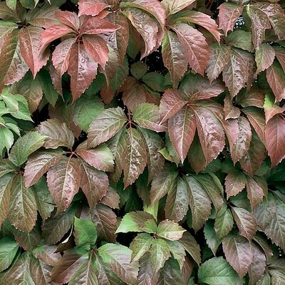 Virginia Creeper Vine 4