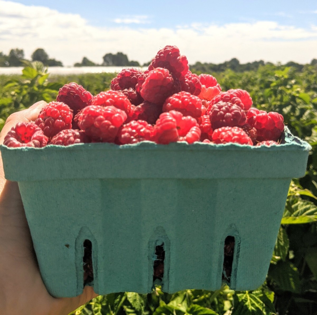Pick-Your-Own Raspberry Basket