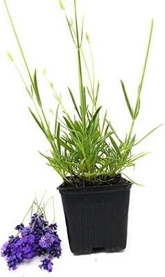 Lavender Herb Plant 4