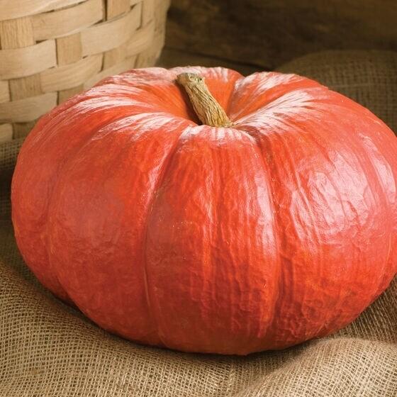 Pumpkin Rouge Vif D'Etampes - large