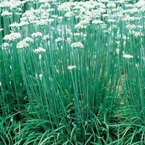 Garlic Chives Herb Plant 4