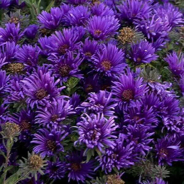 Aster nov-ang Grape Crush 1-Gallon