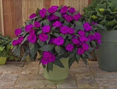 SunPatiens® Purple 12