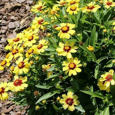Coreopsis UpTick Yellow Red 1-Gallon