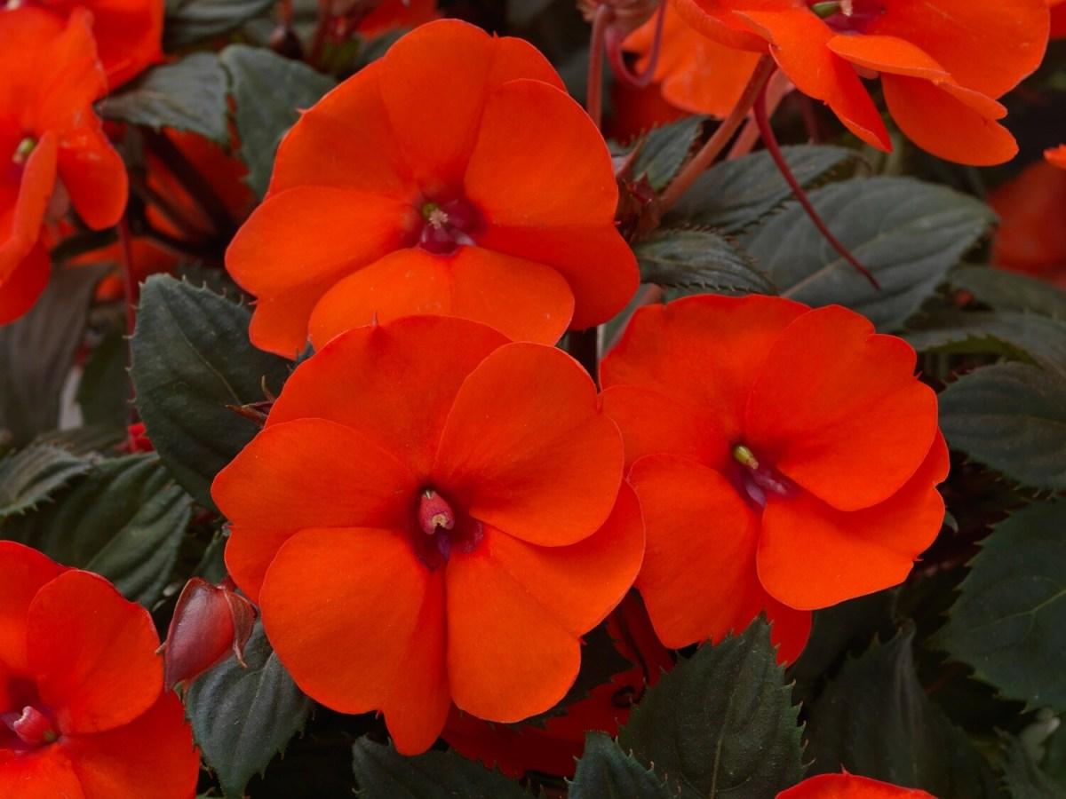 SunPatiens® Hot Coral 12