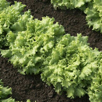PomPom Lettuce plant 4-pack