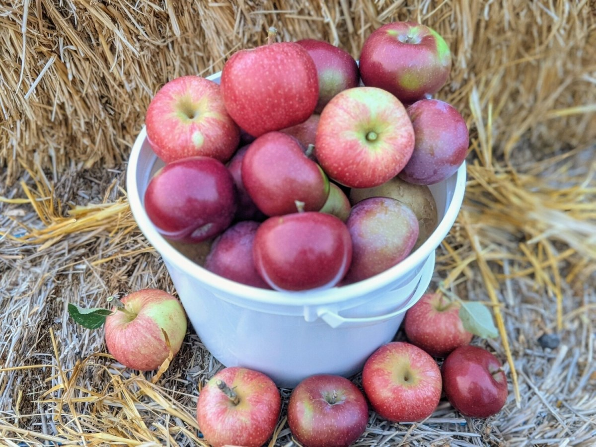 Pick-Your-Own Apples (1.25 gal bucket)