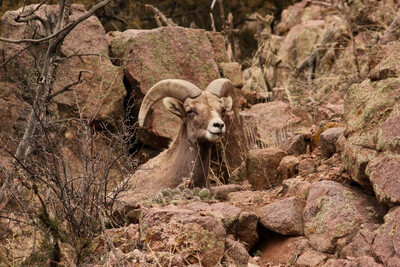 Ram on the Rocks