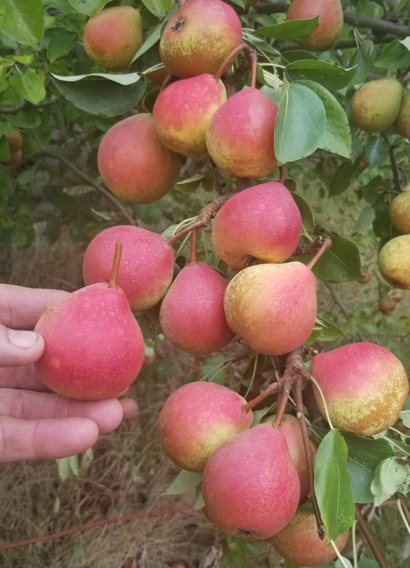 Winnals Longdon Pear