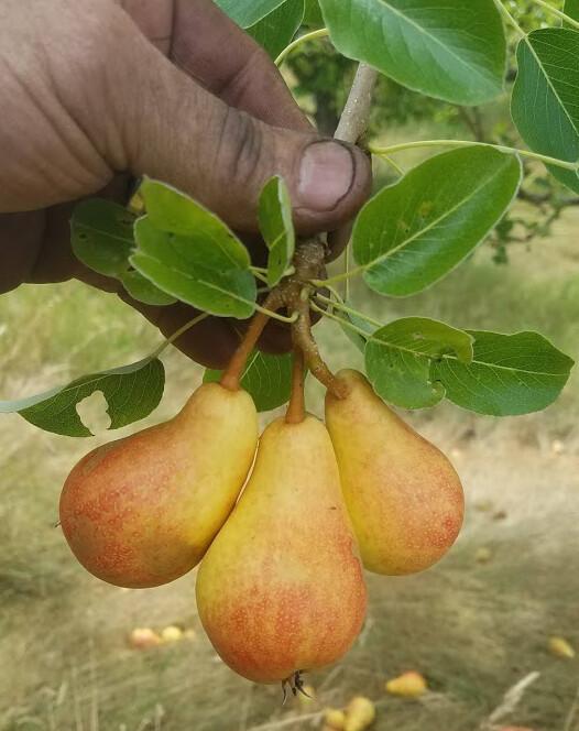 Bella Di Guigno Pear