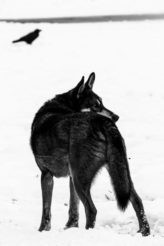 Lupus & Corvus
