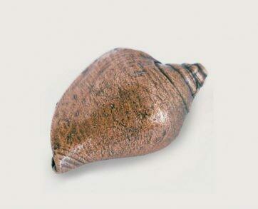 Emenee Decorative Cabinet Hardware Voluntidae Conch 2-1/4