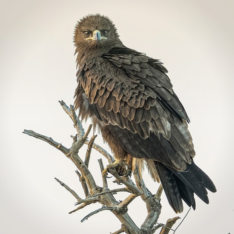 Tawny Eagle Dark Morph 8141