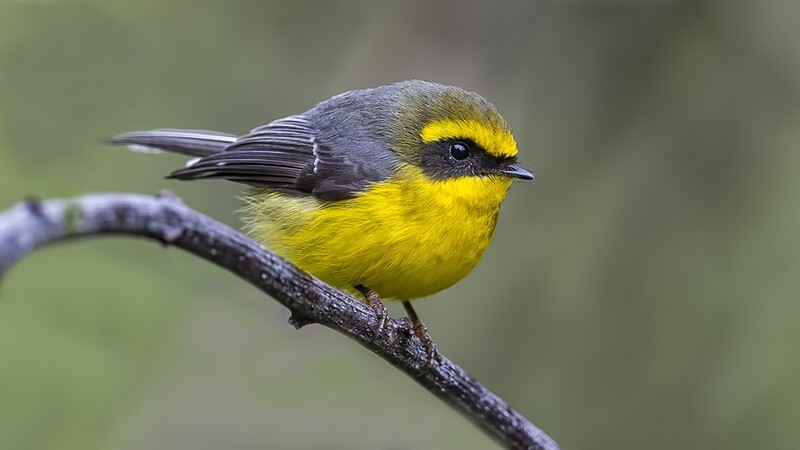 Yellow-bellied Fantail 6984
