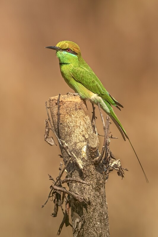 Green Bee-eater 3197