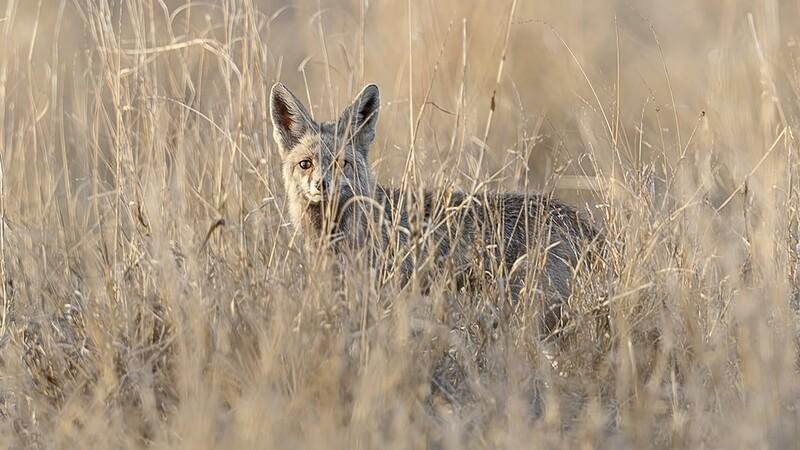 Desert Fox 0722