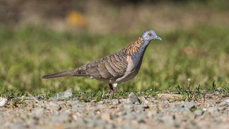 Bar-shouldered Dove 1200