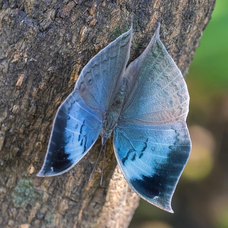 Blue oakleaf butterfly 9963
