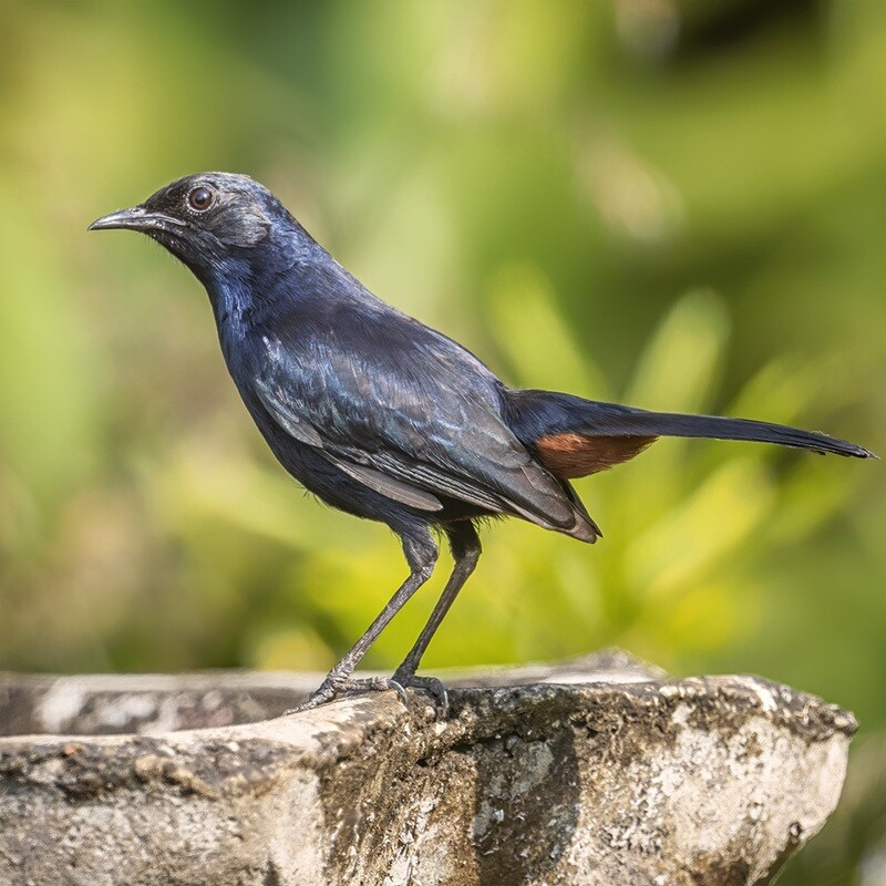 Indian robin 4424