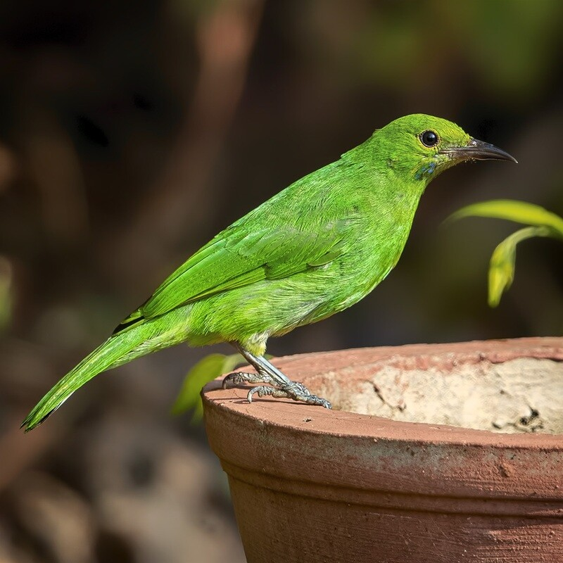 Jerdons leafbird 4383