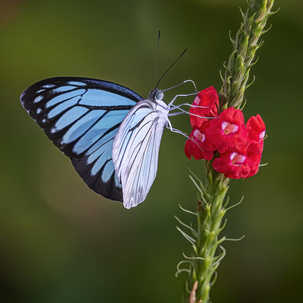 Common wanderer butterfly 4241