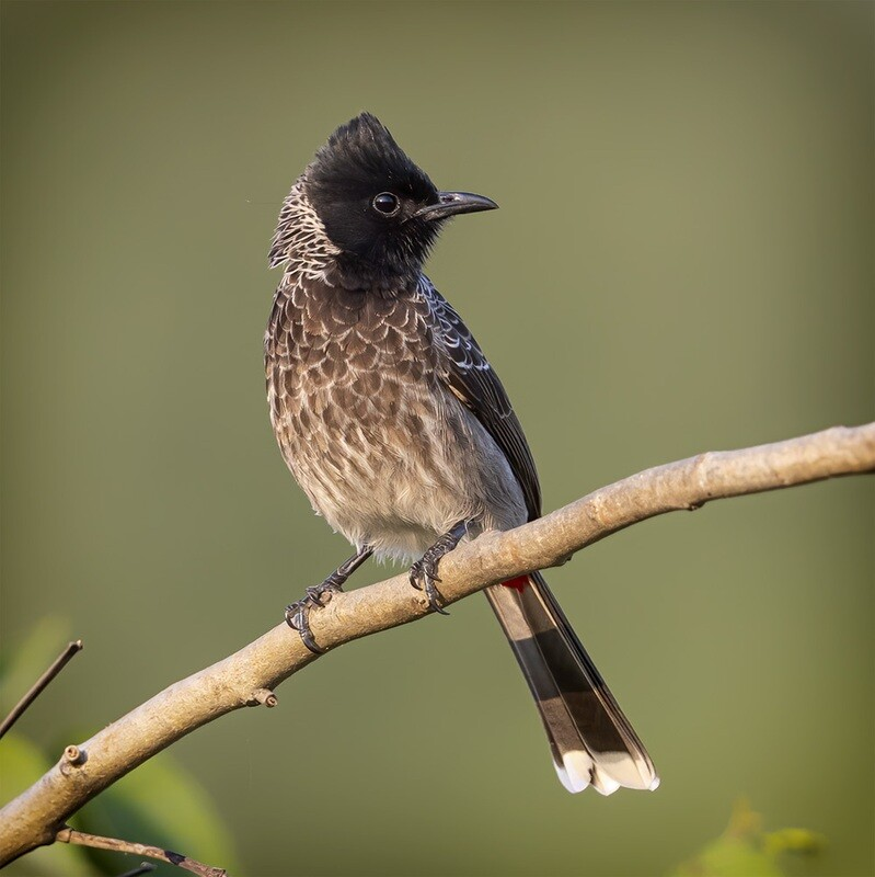 Red-vented Bulbul 7070