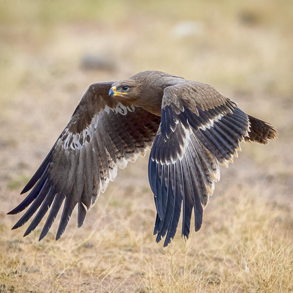 Steppe eagle 7820