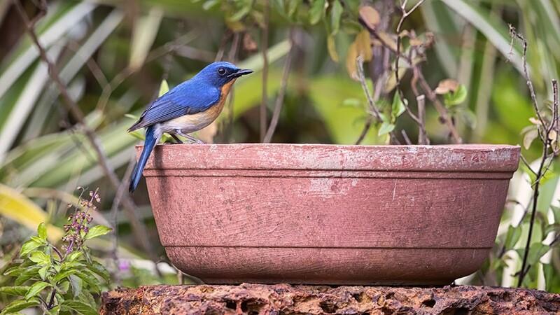 Tickell's Blue Flycatcher 7963