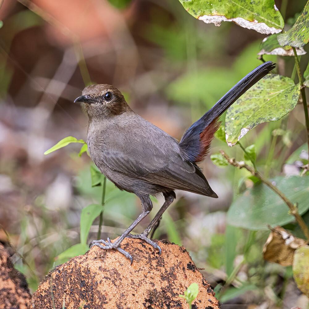 Indian Robin (female) 7559