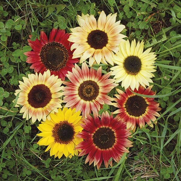 High Mowing SEEDS Evening Colors Sunflower