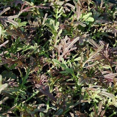 High Mowing SEEDS Ruby Streaks Mustard Greens