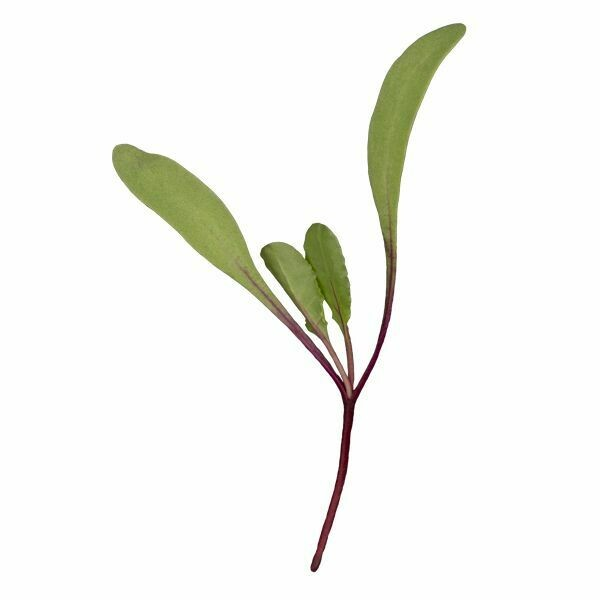 High Mowing MICROGREEN SEEDS Red Beets