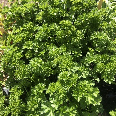 SGF Plant Starts - Curly Parsley 4