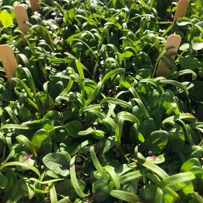 SGF Plant Starts - Red Tabby Spinach 6 Pk