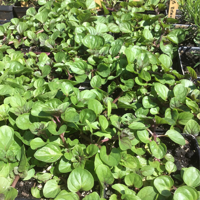 SGF Plant Starts - Orange Mint 4