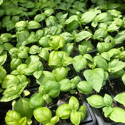 SGF Plant Starts - Genovese Italian Basil 6 Pk