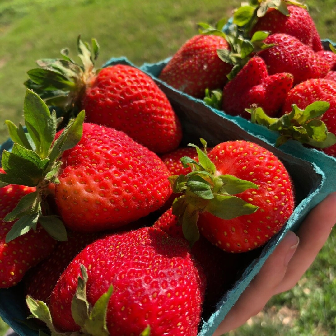 Strawberries - 1 Pint ** -  Simple Gifts Farm