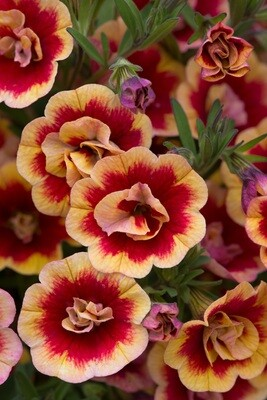 Calibrachoa Can-Can Double OrangeTastic