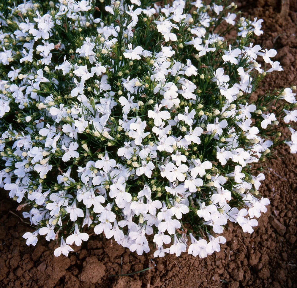 Lobelia Star White