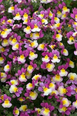 Nemesia Sundae Forest Fruits