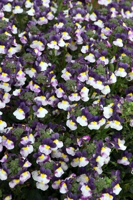 Nemesia Sundae Blueberry Ice