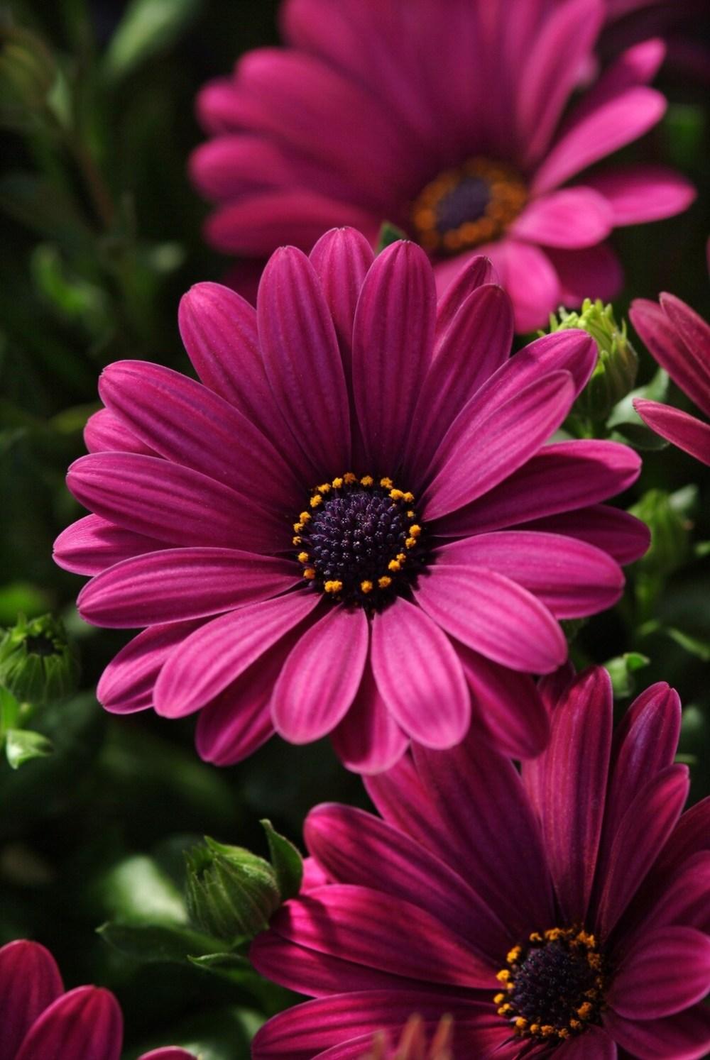 Osteospermum Serenity Dark Purple