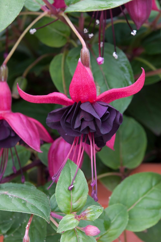 Fuchsia Blacky (Semi-Trailing)