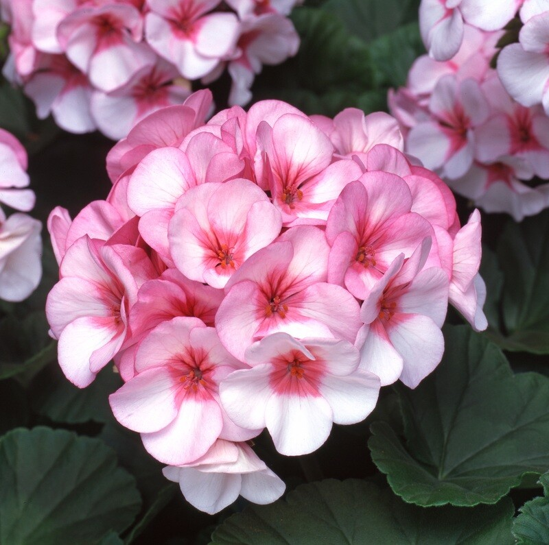 Geranium Horizon Star (Tray of six plants) AVAILABLE FROM APRIL