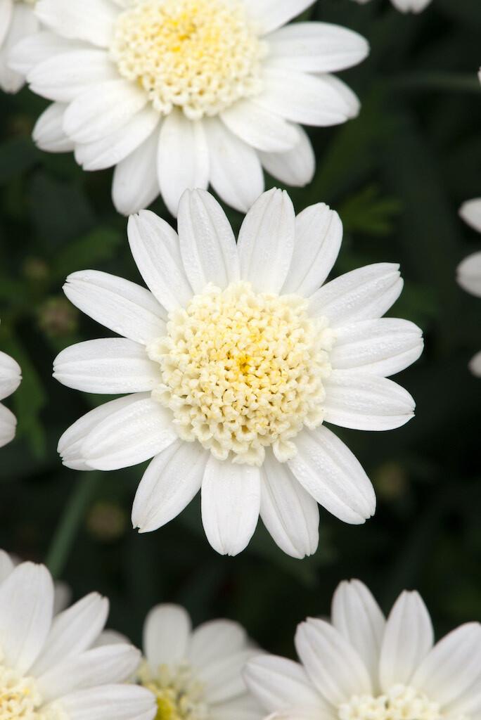 Argyranthemum Madeira Crested White