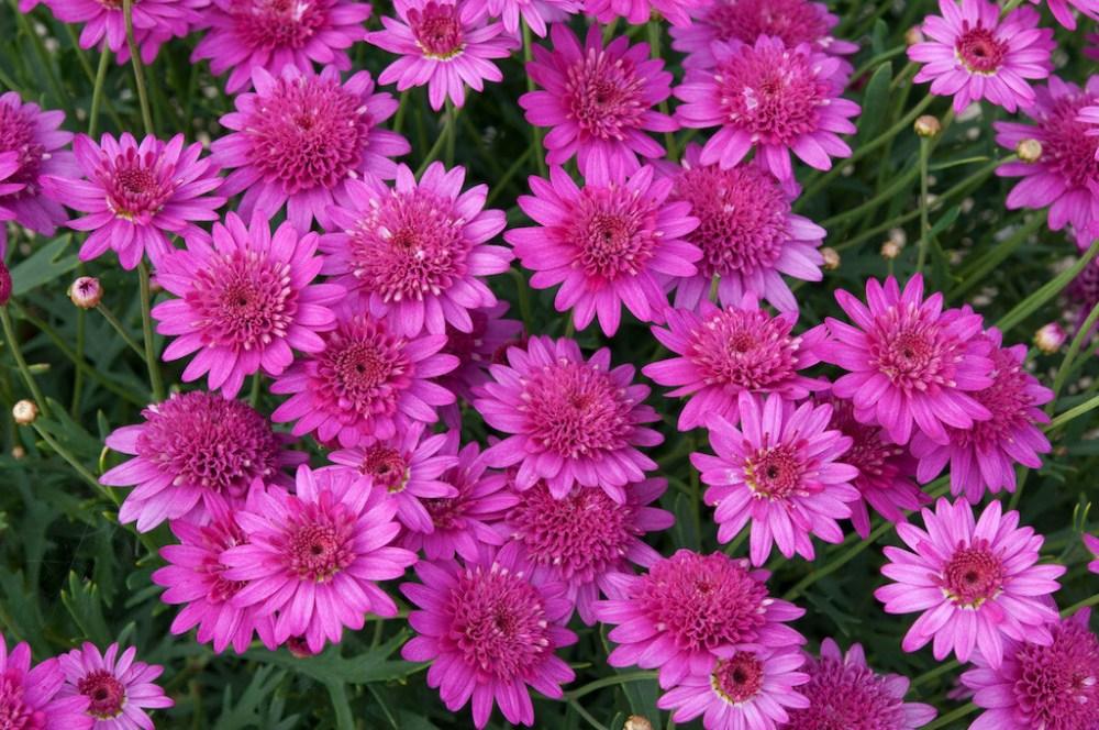 Argyranthemum  Madeira Crested Hot pink