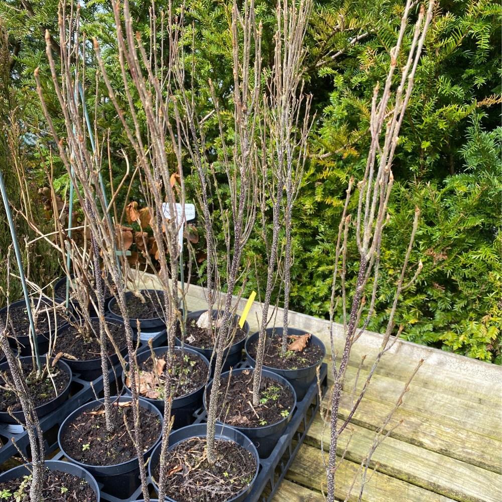 Frangula alnus 'Fine Line'  (fern-leaf buckthorn)